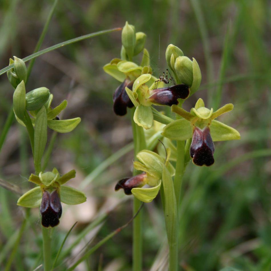 Wilde Orchideen  (2/6)