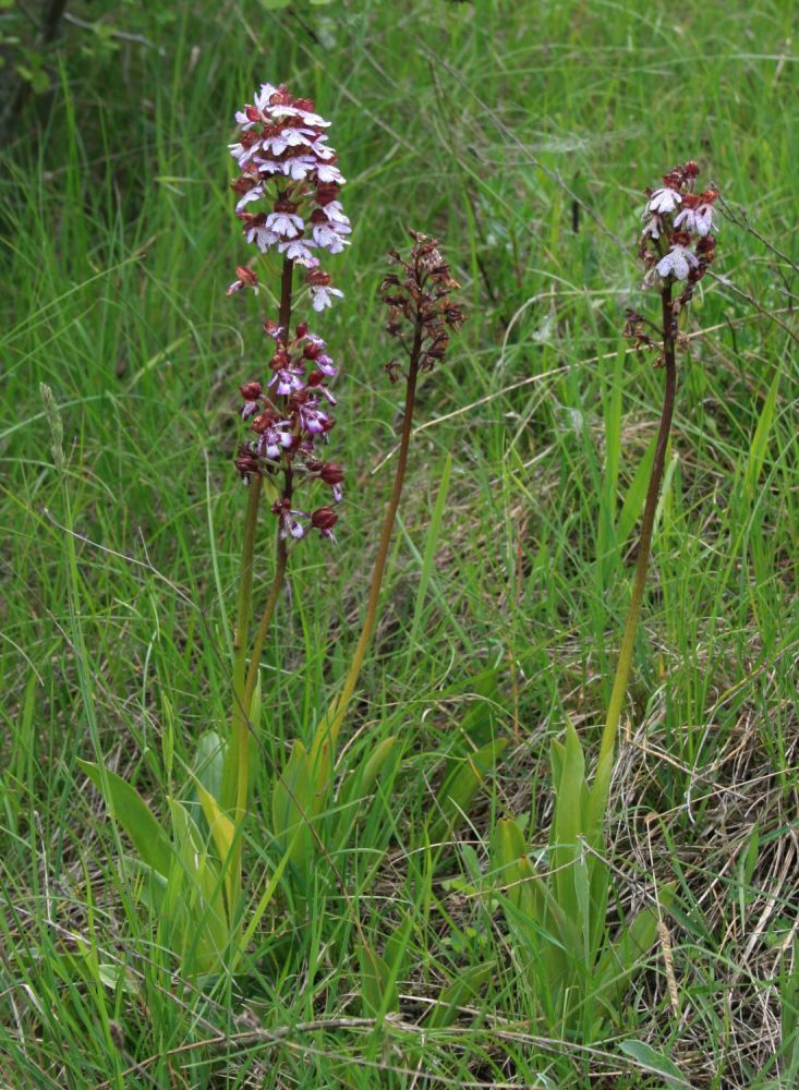 Wilde Orchideen  (3/6)