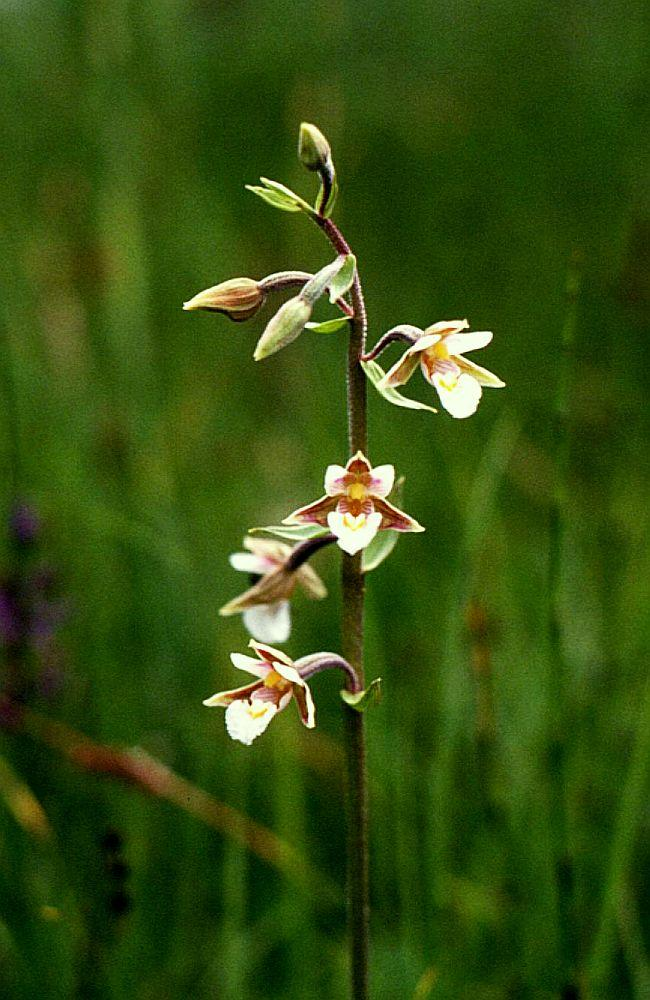 Wilde Orchideen  (5/6)