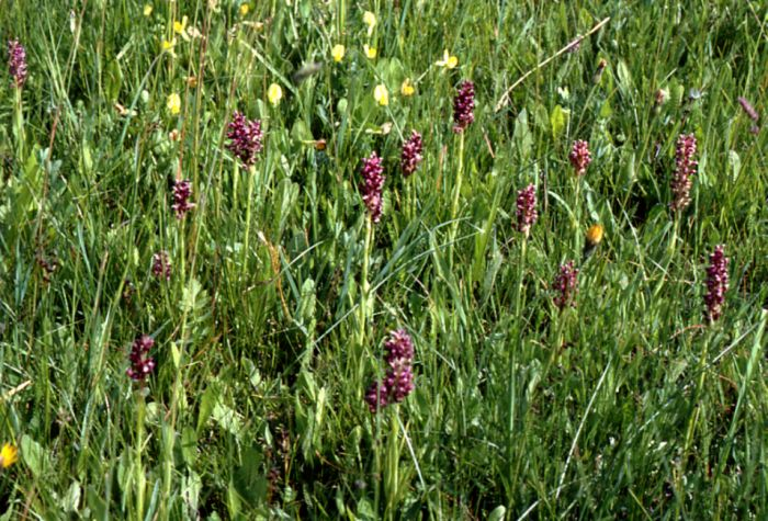 Wilde Orchideen  (6/6)